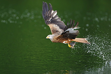 Red Kite, with seized fish, Mecklenburg-Western Pomerania, Germany / (Milvus milvus)
