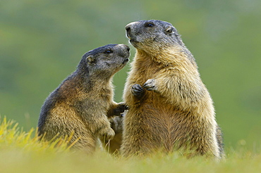 Alpine Marmot with young, Upper Tauern national park, Austria / (Marmota marmota)