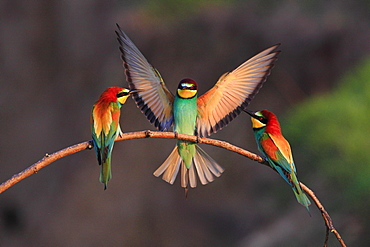 European Bee-eaters, Bulgaria / (Merops apiaster)