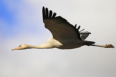 Common Crane, young, Mecklenburg-Western Pommerania, Germany / (Grus grus) / side