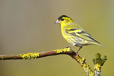 Siskin, male, Lower Saxony, Germany / (Spinus spinus, Carduelis spinus)