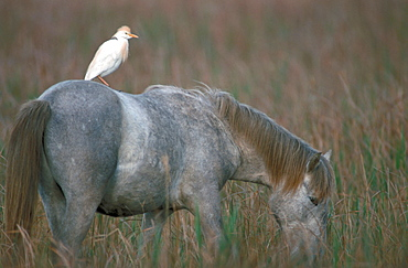 Camargue Horse with Cattle Egret on its back, Camargue, Southern France / (Bubulcus ibis) / heron