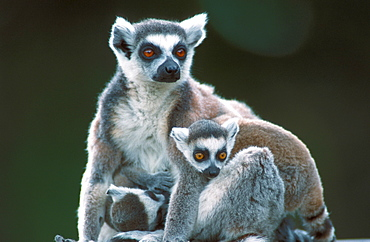 Ring-tailed Lemurs, female with youngs / (Lemur catta)