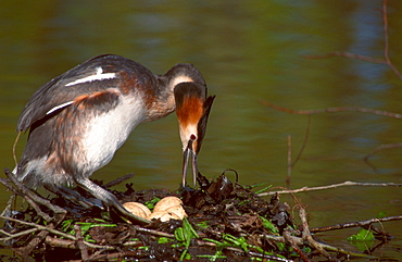 Great Crested Grebe at nest with eggs, North Rhine-Westphalia, Germany / (Podiceps cristatus)