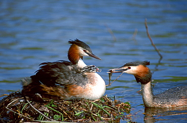 Great Crested Grebes, pair at nest feeding chick, North Rhine-Westphalia, Germany / (Podiceps cristatus)