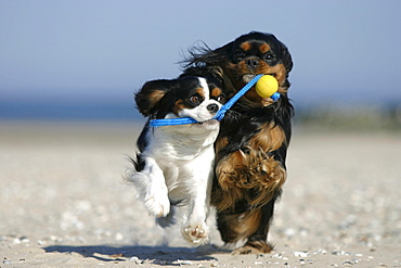 Cavalier King Charles Spaniel, retrieving ball at beach