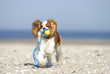 Cavalier King Charles Spaniel, Blenheim, retrieving ball at beach