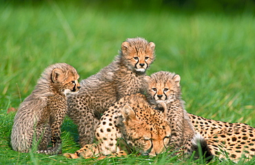 Cheetah with cubs / (Acinonyx jubatus)