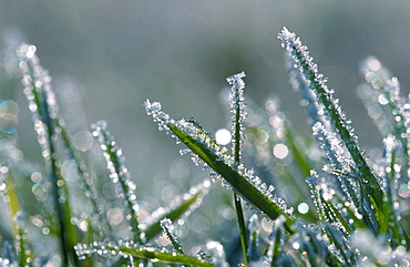 Grass with hoarfrost, Germany / (Alopecurus pratensis)