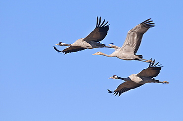 Common Cranes, pair with young, Mecklenburg-Western Pomerania, Germany / (Grus grus)