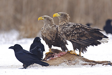 White-tailed Eagles at carrion / (Haliaeetus albicilla)