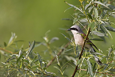 Lesser Grey Shrike, Bulgaria / (Lanius minor)