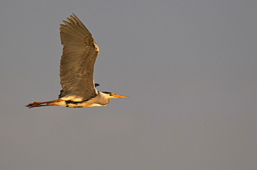 Grey Heron, Bulgaria / (Ardea cinerea) / side