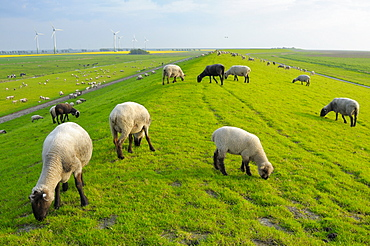 Domestic Sheep on dyke, near Greetsiel, Lower Saxony, Germany