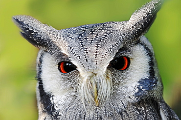 Northern White-faced Owl / (Ptilopsis leucotis, Otus leucotis) / White-faced Scops Owl