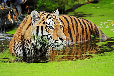 Siberian Tiger in water / (Panthera tigris altaica)