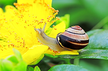 Brown-lipped Snail, North Rhine-Westphalia, Germany / (Cepaea nemoralis) / Grove Snail, Larger Banded Snail, Banded Wood Snail