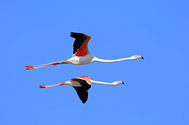 Greater Flamingo, Camargue, Provence, Southern France / (Phoenicopterus ruber roseus)