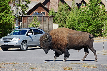 American Bison, male, crossing parking place, Yellowstone national park, Wyoming, USA / (Bison bison) / bull