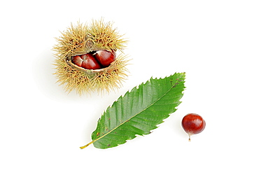Sweet Chestnut, leaf and fruits / (Castanea sativa) / European Chestnut