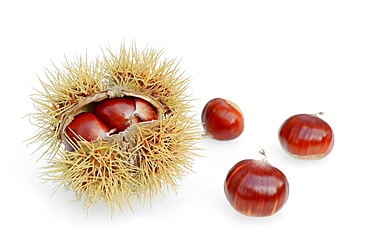 Sweet Chestnut, fruits / (Castanea sativa) / European Chestnut