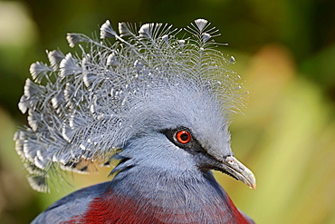 Victoria Crowned Pigeon / (Goura victoria) / White-tipped Crowned Pigeon