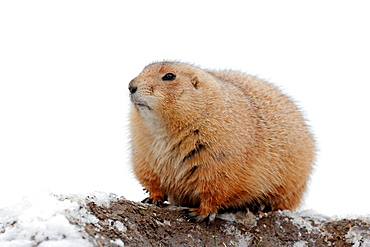 Black-tailed Prairie Dog at burrow in winter / (Cynomys ludovicianus)