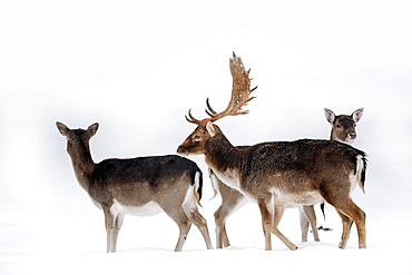Fallow Deers, male and femals in winter / (Dama dama)