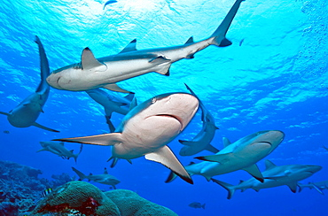 Grey Reef Shark and Blacktip Reef Shark / (Carcharhinus amblyrhynchos), (Carcharhinus melanopterus)