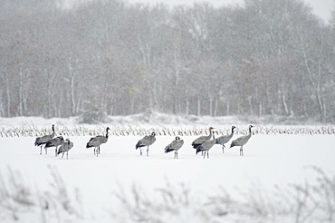 Common Cranes, in snowstorm, Lower Saxony, Germany / (Grus grus)