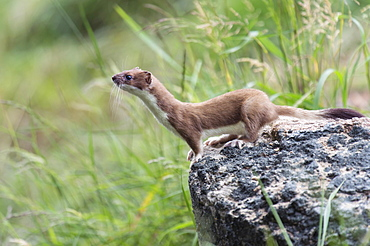 Ermine, summer coat, Lower Saxony, Germany / (Mustela erminea) / Stoat