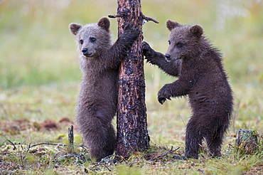European Brown Bears, cubs, Finland / (Ursus arctos)