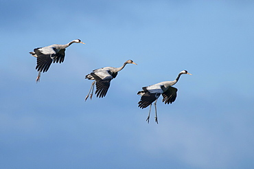 Common Cranes, pair with young, Mecklenburg-Western Pommerania, Germany / (Grus grus)