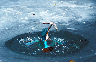 River Kingfisher with prey coming out of icehole, Hessen, Germany / (Alcedo atthis)