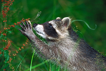 Raccoon catching Dragonfly, Hessen, Germany / (Procyon lotor)