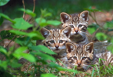 Common Wild Cats, kittens / (Felis silvestris)