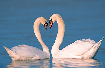 Mute Swan, pair, courting, North Rhine-Westphalia, Germany / (Cygnus olor) / side