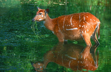 Sitatunga, female, eating aquatic plants / (Tragelaphus spekei)