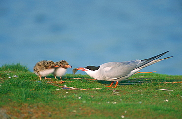 Common Tern feeding chicks, Texel, Netherlands / (Sterna hirundo)