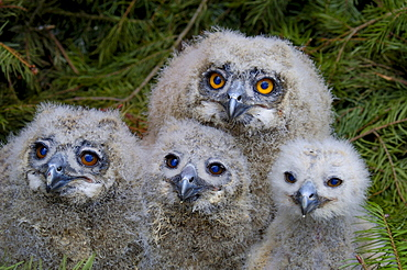 Eagle Owl, chicks, Hessen, Germany / (Bubo bubo)