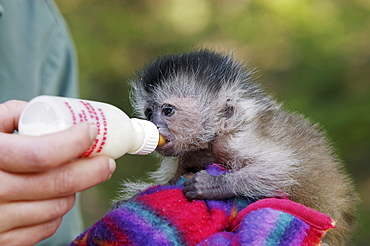 Young Brown Capuchin Monkey, hand reared / (Cebus apella)