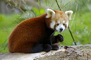 Red Panda eating bamboo / (Ailurus fulgens)