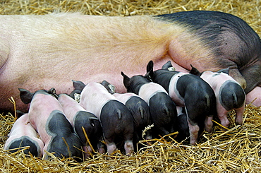 Domestic Pigs, suckling piglets