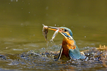 River Kingfisher with prey, Hessen, Germany / (Alcedo atthis)