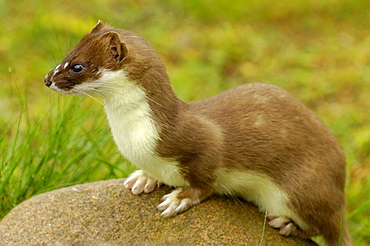 Stoat / (Mustela erminea)