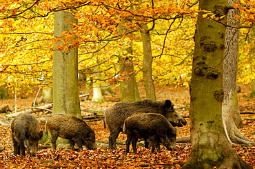 Wild Boars in autumn, Hesse, Germany / (Sus scrofa)