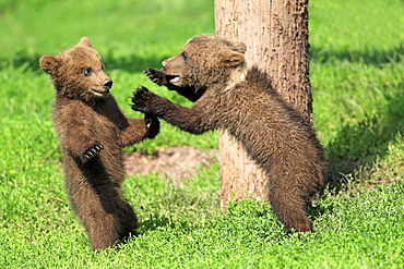 European Brown Bears, cubs / (Ursus arctos)