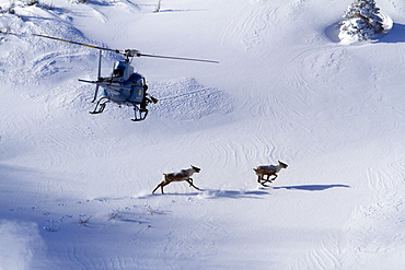 Helicopter over caribous, mount Albert, Caribou mountain ecotype, Rangifer tarandus, Gaspesie national park, Quebec, Canada