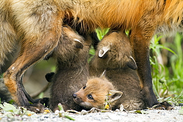Red fox cubs, Vulpes vulpes, Gaspesie national park, Canada