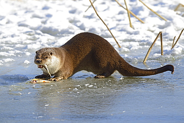 European Otter on frozen pond, Brandenburg, Deutschland / (Lutra lutra)